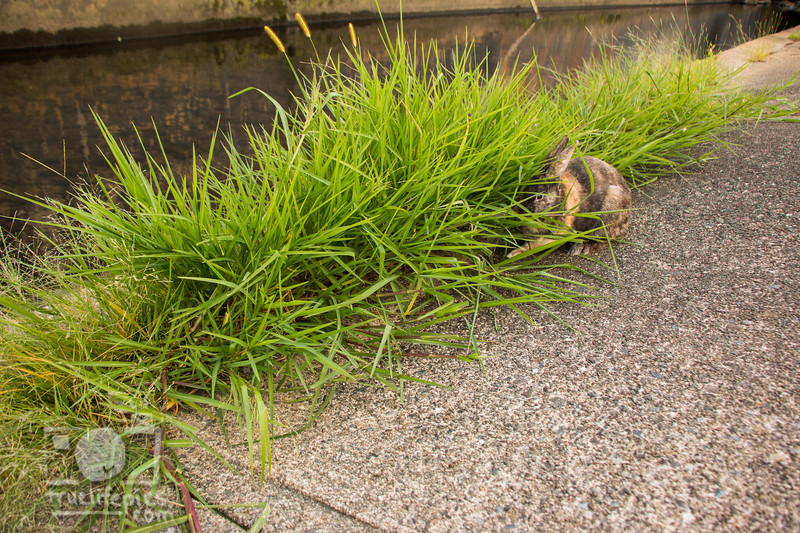 August 23, 2016 Bunnies on the Canal (29)