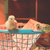 March 27, 2017 Chickens in the shop (6)