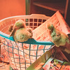 March 27, 2017 Chickens in the shop (1)