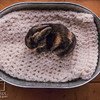 20160815 11 day old bunnies (51)