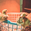 March 27, 2017 Chickens in the shop (4)