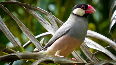 Java Rice Bird