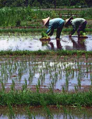 """""""Nurturing Body and Soul"""", Rice Paddy in Bali"""