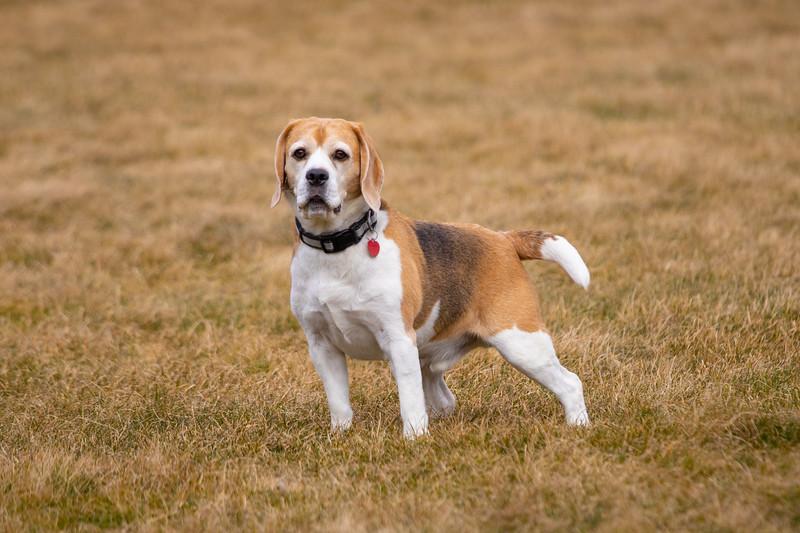Beagle Brody-4880