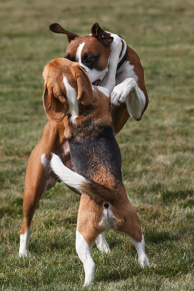 These 2 are best friends.  Since the first time they met, they spend hours each day running and wrestling.   You'd think they eventually find something else to do.