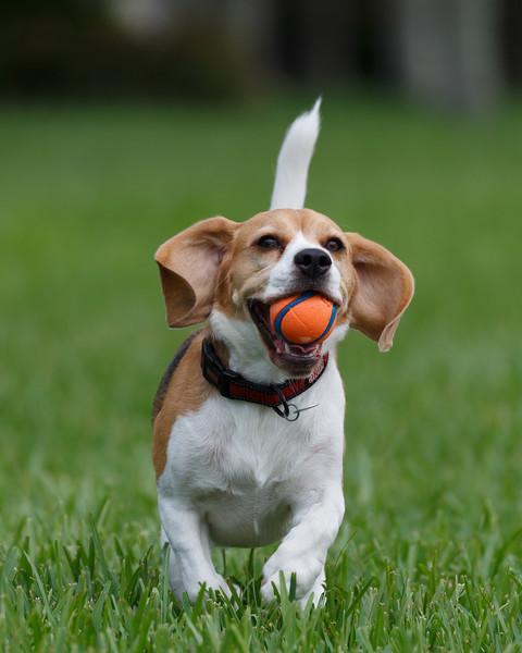 Beagle Ears -