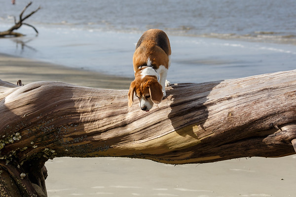 The Intrepid Beagle Explorer
