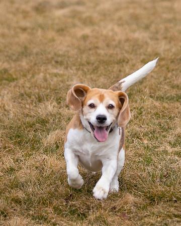 Beagle Brody-4918