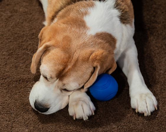 Just in case there was ever any double about Brody's fondness for his ball.  He's ready to go from deep sleep to fetch in a heartbeat.
