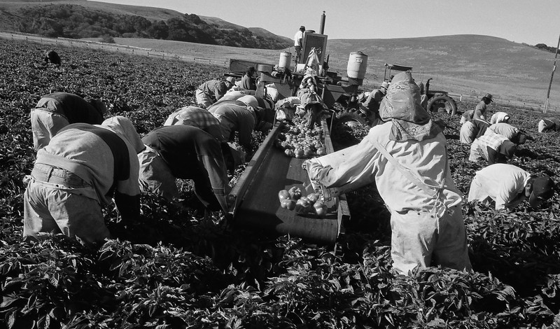 Green Pepper Harvest in San Benito County