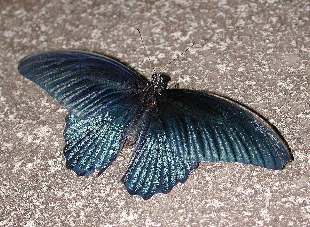 Great Mormon (m) -- Papilio memnon