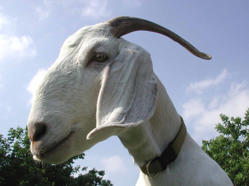 "goat scape, not scapegoat<br /> <br /> ""I'd like to see you move up to the goat class, where I think you belong."" ~ Phillip K. Dick, ""Do Androids Dream of Electric Sheep?"""