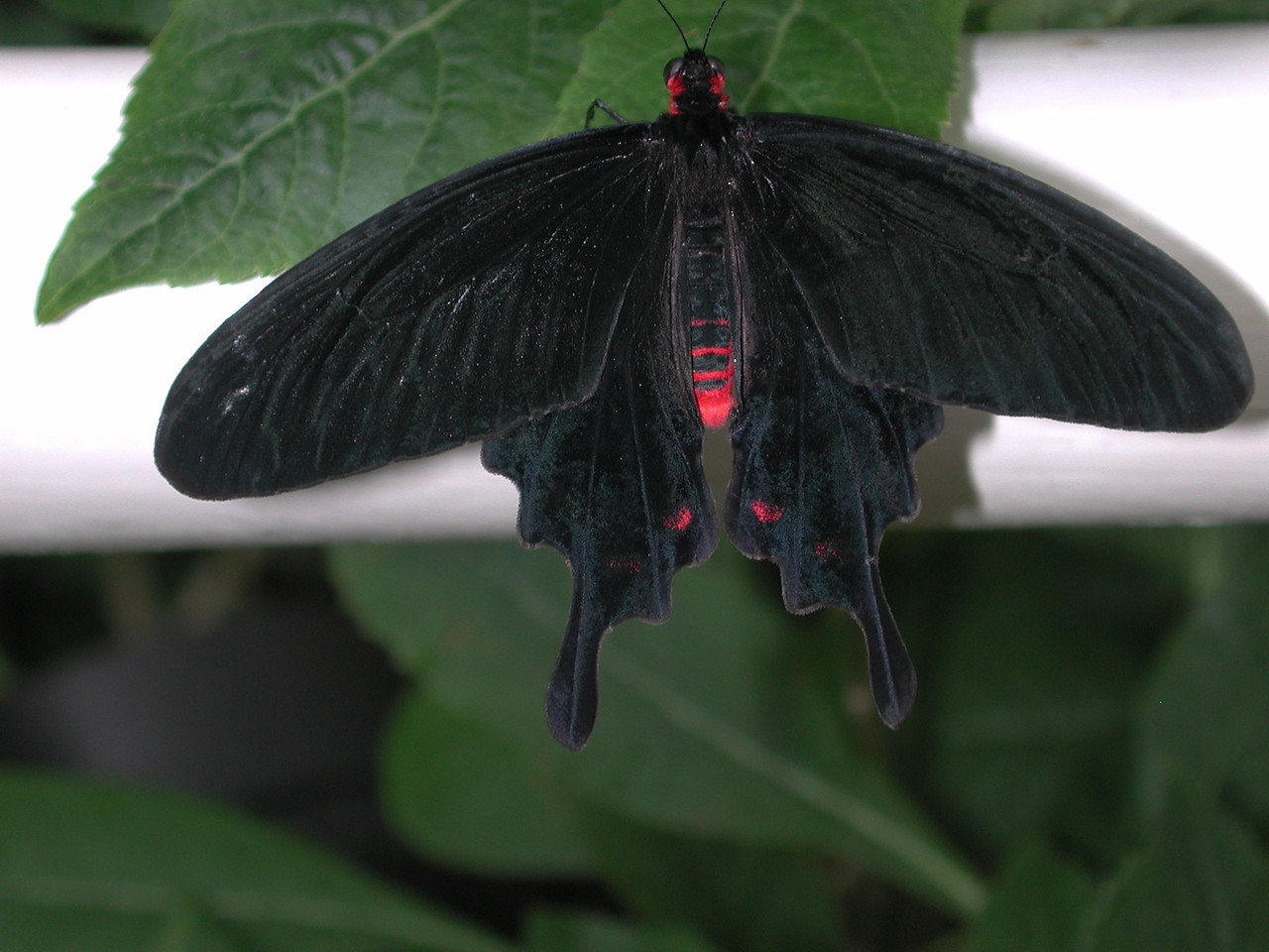 Pink-spotted Cattle-heart -- Parides photinus