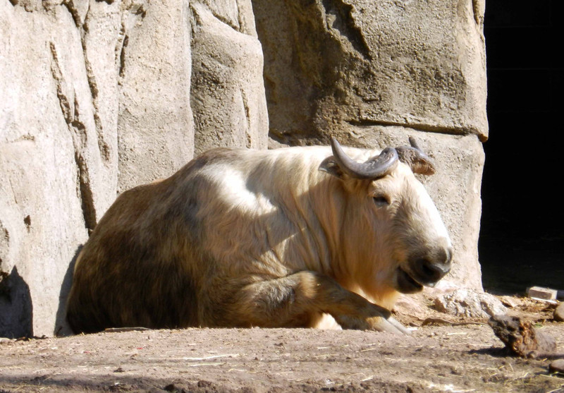 """Sichuan Takin -- Budorcas taxicolor tibetana, believed to be the inspiration for the mythological """"golden fleece""""<br /> <br /> the takin is like a giant goat well 'suited' for survival in the harsh climates of the Himalayan Mountains and western China"""