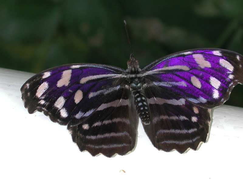 "Mexican Bluewing -- Myscelia ethusa<br /> <br /> ""I think it pisses God off if you walk by the color purple in a field somewhere and don't notice it."" ~ Alice Walker"