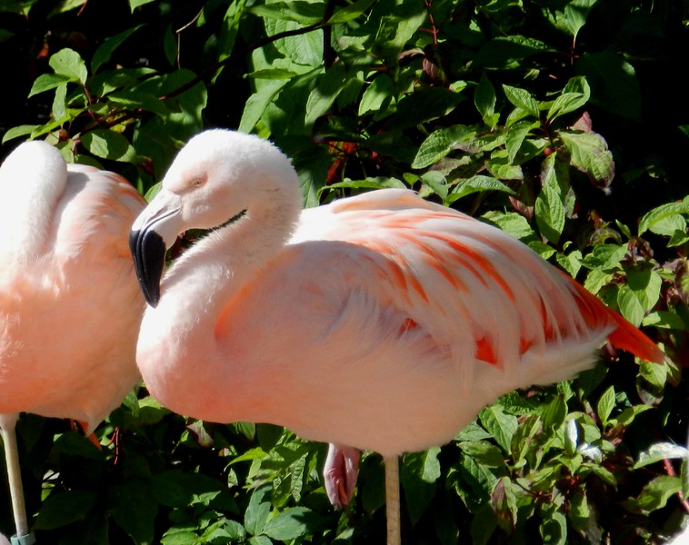 "Chilean Flamingo -- Phoenicopterus chilensis<br /> <br /> ""Zoo:  an excellent place to study the habits of human beings."" ~ Evan Esar"