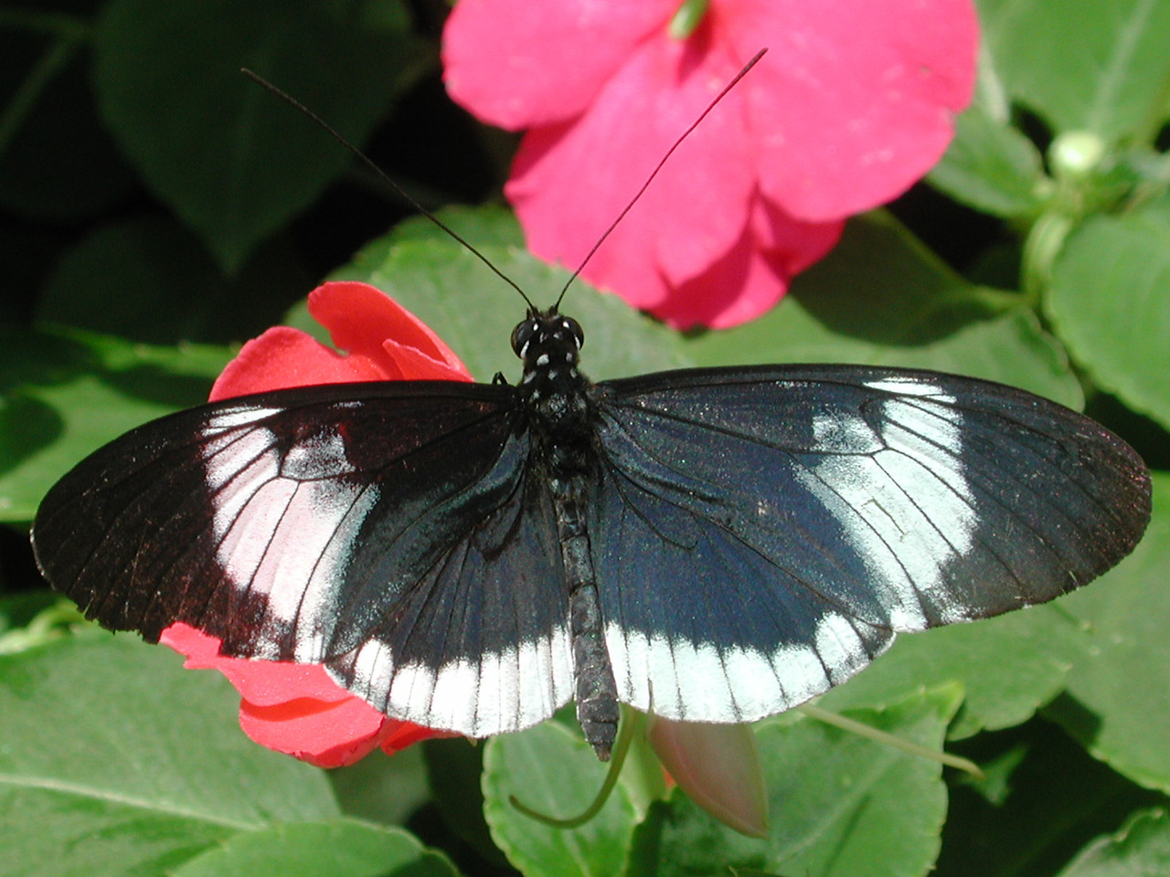 Blue-and-white Longwing -- Heliconius cydno