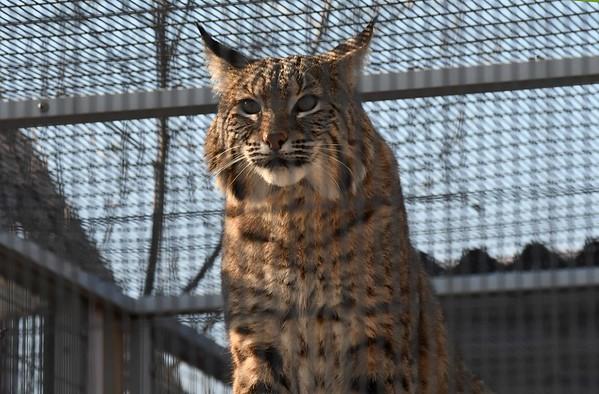 Bobcat -- Lynx rufus