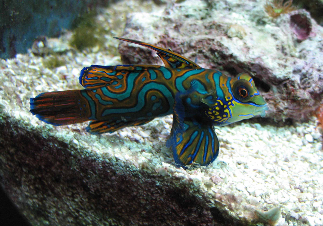 "Mandarin Fish -- Synchiropus splendidus<br /> <br /> ""It is not the language of painters but the language of nature which one should listen to ... the feeling for the things themselves, for reality, is more important than the feeling for pictures."" ~ Vincent Van Gogh"
