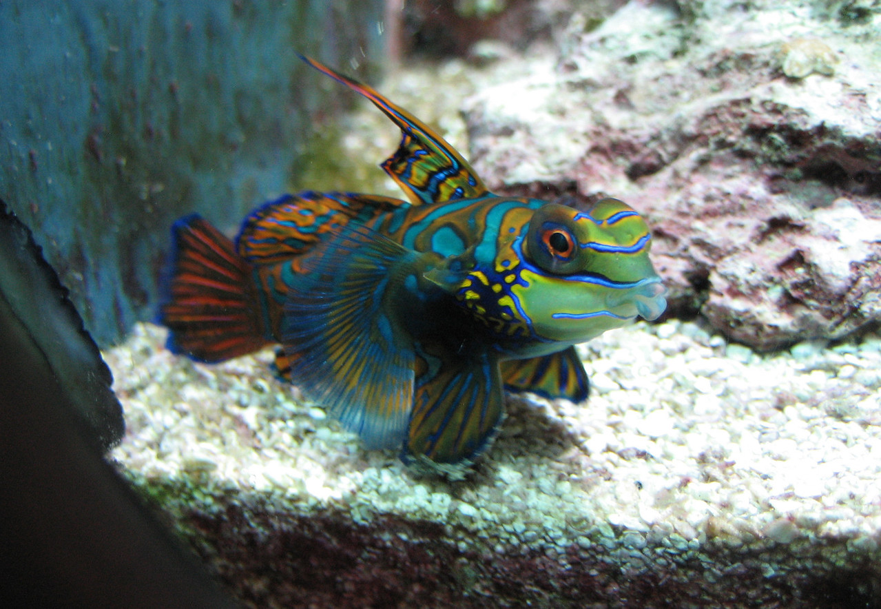 "Mandarin Fish -- Synchiropus splendidus<br /> <br /> ""A second myth is that with enough knowledge and technology, we can, in the words of Scientific American in 1989, 'manage planet earth.'  Higher education has largely been shaped by the drive to extend human domination to its fullest.  In this mission, human intelligence may have taken the wrong road... It makes far better sense to reshape ourselves to fit a finite planet than to attempt to reshape the planet to fit our infinite wants."" ~ David W. Orr (Earth in Mind, 2004)"
