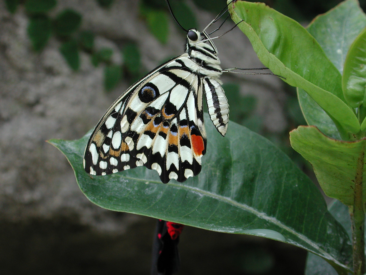 Citris Swallowtail -- Papilio demodocus