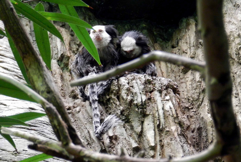 "White-fronted Marmoset -- Callithrix geoffroyi, a lowland rainforest resident from east-central Brazil<br /> <br /> ""It is not from ourselves that we learn to be better than we are."" ~ Wendell Berry"
