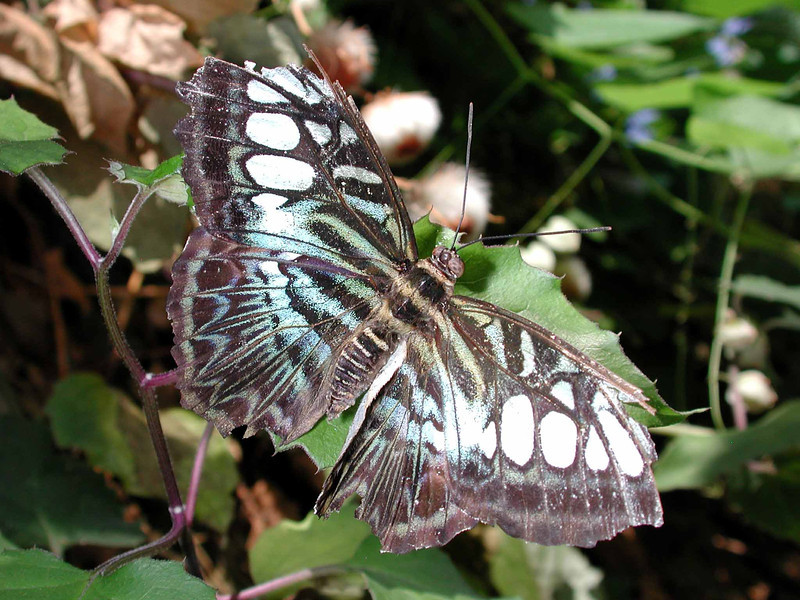 "Clipper -- Parthenos sylvia<br /> <br /> ""As humanity perfects itself, man becomes degraded. When everything is reduced to the mere counter-balancing of economic interests, what room will there be for virtue? When Nature has been so subjugated that she has lost all her original forms, where will that leave the plastic arts? And so on. In the mean time, things are going to get very murky."" ~ Gustave Flaubert"