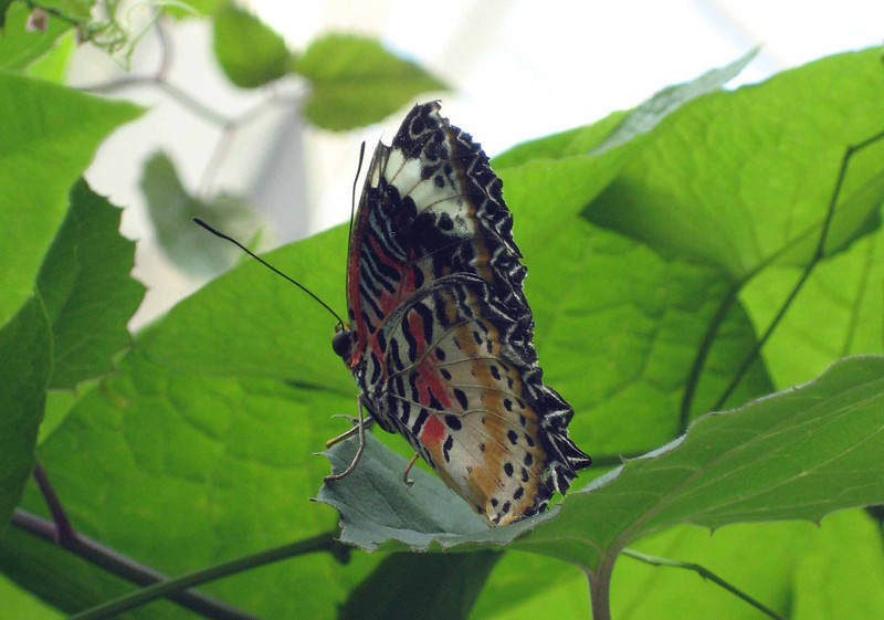 Red Lacewing -- Cethosia biblis
