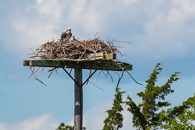 Osprey and Chick 2018