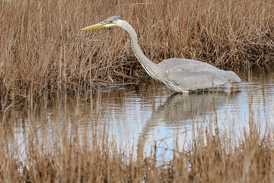 Great Blue Heron Fishing in Winter