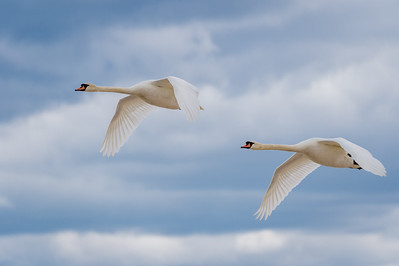 Two Mute Swans In Flight (Wings Down)