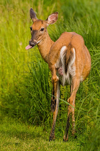 Deer Poses for Photographer