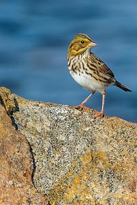Sparrow on a Rock