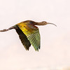 White-faced Ibis-6955