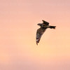 Lesser Nighthawk Sunset-5425