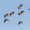 Greater White-fronted Geese-3977