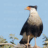 Crested Caracara-4980-8X10 (1 of 1)
