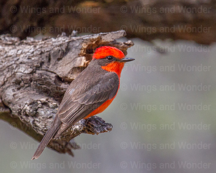 Vermillion Flycatcher-9243