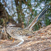 Greater Roadrunner-9033