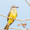 Tropical Kingbird-8265