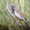 Black-throated Sparrow-9547