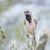 Black-throated Sparrow-9591