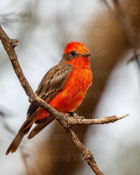 Vermillion Flycatcher-3123-Edit-Edit
