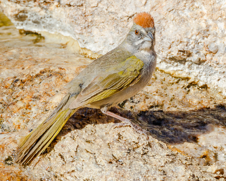 Green-tailed Towhee 7171-