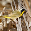 Common Yellowthroat-6102
