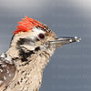 Ladderback Woodpecker-6466