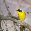 Common Yellowthroat-5148