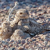 Lesser Nighthawk and nestlings-7696-Edit-2