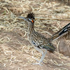 Greater Roadrunner-9039