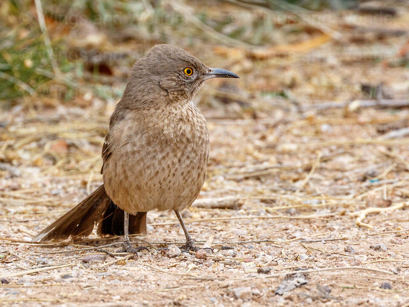 Bendire's Thrasher-8424